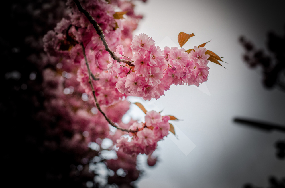 Kirschblüten in Bockum-Hövel